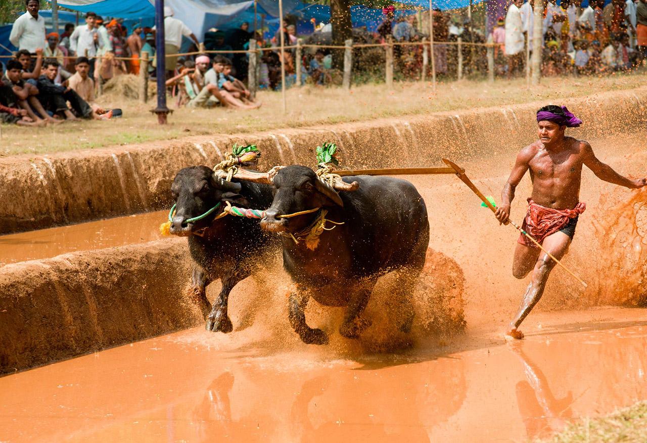 Cultural-Festivals-of-Karnataka-Kambala
