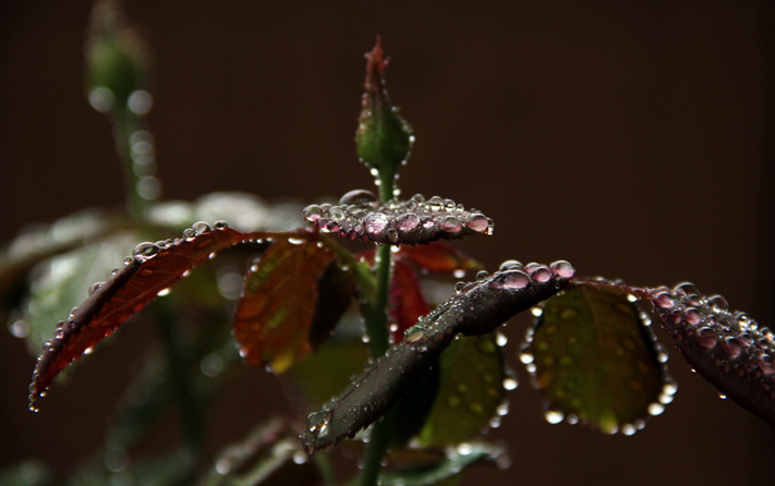 monsoon in india - Rain Drops on rose plant